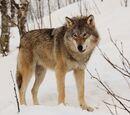 Wilk (stworzenie)