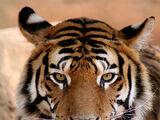 Tygrysy (stworzenia)