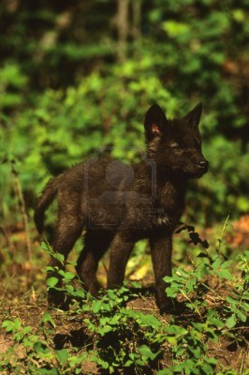 Image 8883626 black wolf pupg wolf fanfiction wiki fandom 8883626 black wolf pupg sciox Images