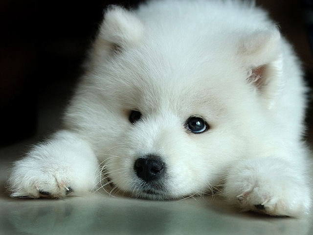 File:White-Wolf-Pup-wolves-7570936-640-480.jpg