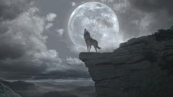 WB Wolf 61