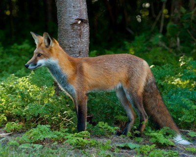 File:Forest fox.jpg