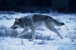 Article-new ehow images a08 5j pi draw-wolf-legs-800x800