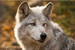 Hazelthewolf