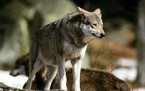 Wolf-animal-wallpaper-445x278-419
