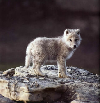 Roisethewolf