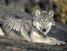 Reinhold-ralph-female-timber-wolf-resting-northern-canada