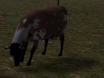 Cattle ranch cow calf graze (2.7)