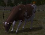 Adult cow cattle ranch graze (2.7)
