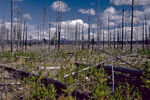 Yellowstone Burned Trees