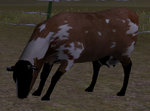 Cattle ranch cow calf graze (2.5)