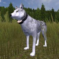 Wolfradiocollar