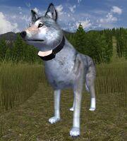 Wolf-radiocollar
