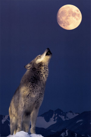 File:Gray-wolf-howling.jpg
