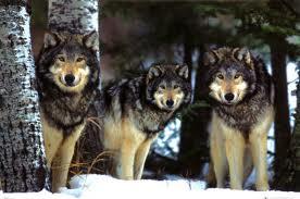 File:Wolves.jpg