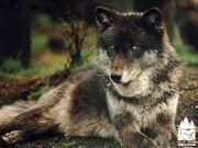 Tmbrwolf2