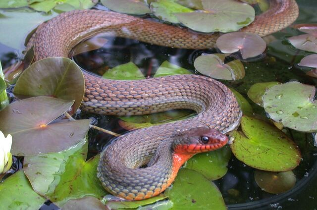 File:Red-bellied Watersnake.jpg
