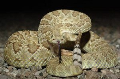 File:Mohave Rattlesnake 2.jpg