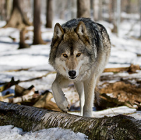 Wolf Wolfx 100