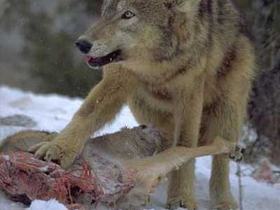Wolf-eating-meat