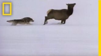 Wolf Hunting Tactics National Geographic