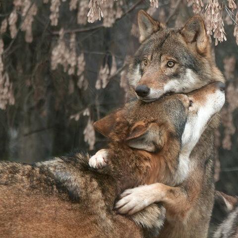 File:BIG WOLVE HUG!!.jpg