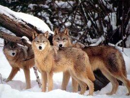 Gray-wolves