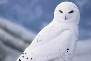 Snowyowllarge