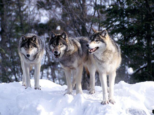 Файл:Wolf pack.jpg