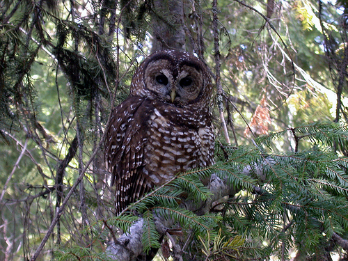 File:Threatened northern spotted owl (Strix occidentalis caurina).jpg