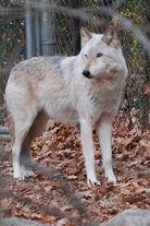 White/Gray Wolf