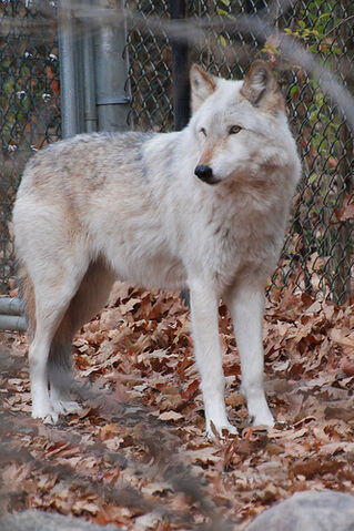 File:White/Gray Wolf.jpg