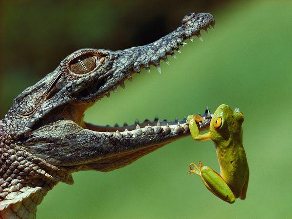 File:Frog-mouth-crocodile-blair 42596 600x450.jpg