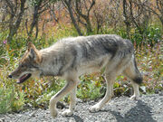 Gray wolf in Denali National Park
