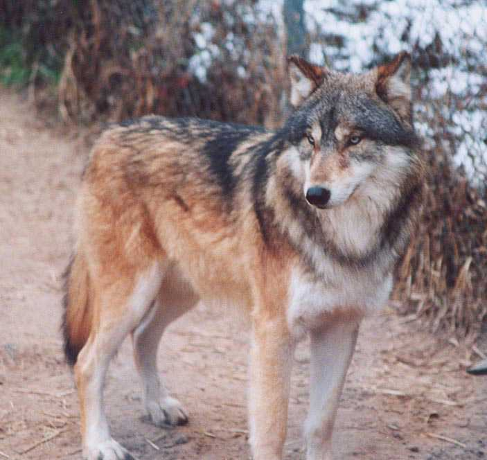 brangwen wolves of the beyond wiki fandom powered by wikia