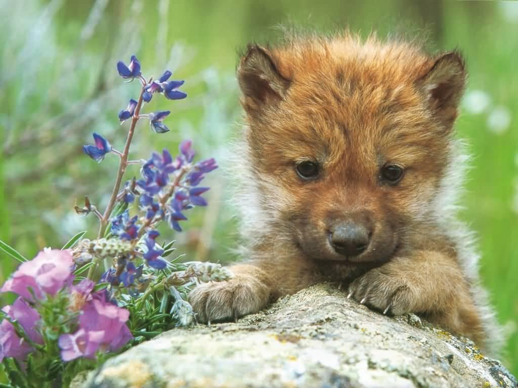Wolf Puppies Wallpaper