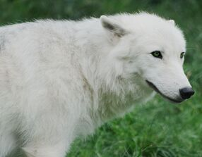 Arctic wolf cub 20120827 1 by furlined-d5pyghc