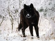 Black-wolf-in-snow-beautiful-eyes-kewl-1