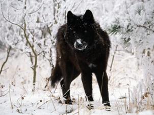 File:Black-wolf-in-snow-beautiful-eyes-kewl-1.jpeg