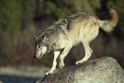 Profile of jumping grey wolf