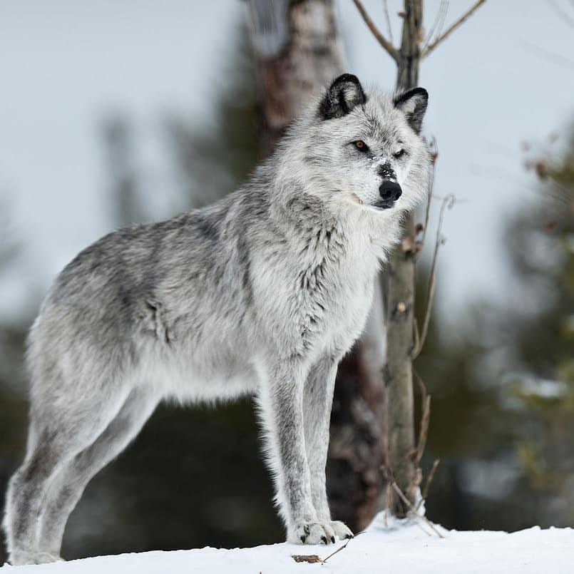 Слезы волка фото нас очень