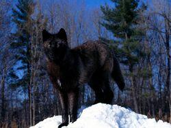 Black Wolf in Snow