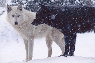 Black-and-white-wolves-915884 500 333-1-