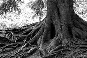 Obea Tree