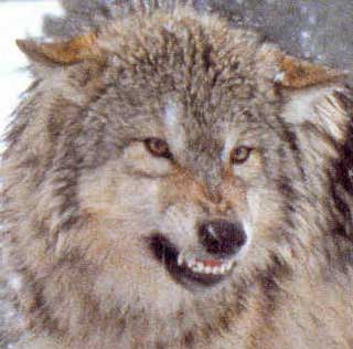 File:Scary wolf.jpg
