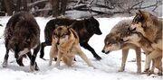Gnaw Wolf