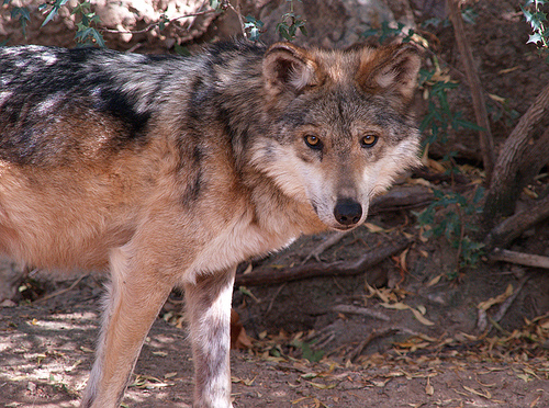 File:Mexican Wolf 003.jpg