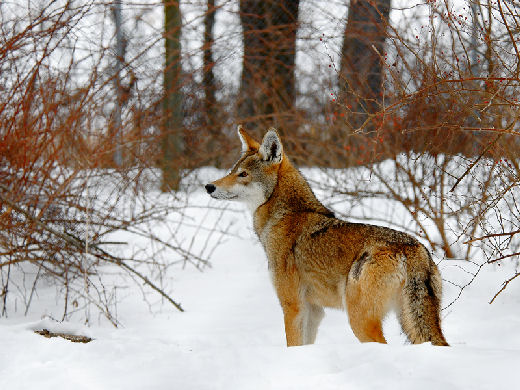 File:Red wolf (edme).jpg