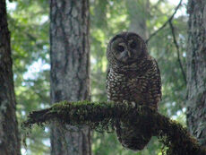 Spotted owl (Strix occidentalis) on Humboldt Redwoods State Park Johnson Camp Trail