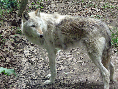 File:Lone wolf!.jpg